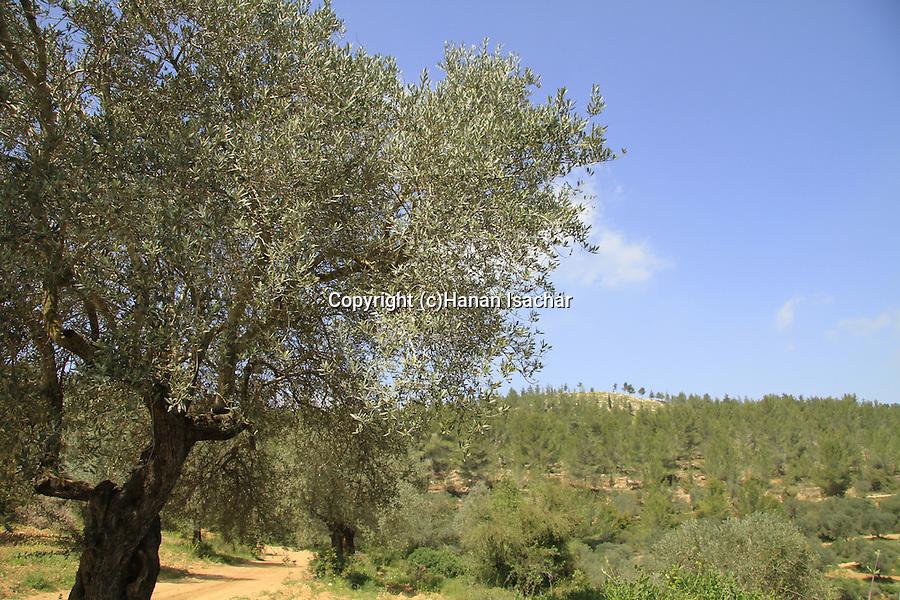 Israel, Jerusalem mountains, Olive and Pine trees on Mount Heret