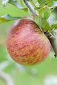 Apple 'Trumpington', mid September. An English dessert apple.
