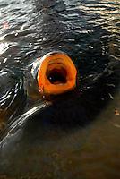 4415 / Karpfen: AMERIKA, VEREINIGTE STAATEN VON AMERIKA, CALIFORNIEN,  (AMERICA, UNITED STATES OF AMERICA), 23.05.2006:  animal, animals, biotope, biotopes, bodies of water, bony fish, bony fishes, carp, carps,  Fisch, Fische,  fish, fishes, frequent, fresh water fish, fresh water fishes, Gewaesser,  Heiligtuemer, Heiligtum, horizontal format, Karpfen, Karpfenfische, Knochenfisch, Knochenfische, Lebensraeume, Lebensraum, Maul, Mund, Hunger, schnappen, Luft, atmen,  Querformat,  Sinnbild, sinnbildlich, Stillgewaesser, Suesswasserfisch, Suesswasserfische, symbol, Symbole, symbolic, Symbolik, symbolisch, symbolism, symbolisms, symbols, Teich, Teiche, Tier, Tiere, various,  Lake Mead,