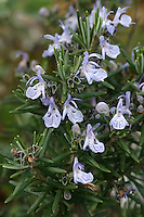 Rosmarin, Rosmarinus officinalis, Rosemary, Le romarin, romarin officinal