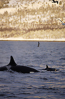 killer whale mother with calf Tysfjord, Arctic Norway