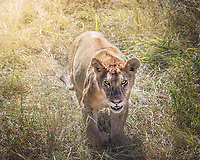 A lioness pauses and stares, shortly after relegating a fresh kill to her cubs.