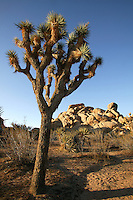 Yucca Tree (Yucca brevifolia?) and Jumbo Rocks.  Joshua Tree National Park,  California.