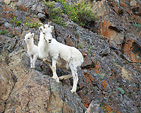 Dall Sheep and lamb standing eye level on a rock cliff in Alaska.