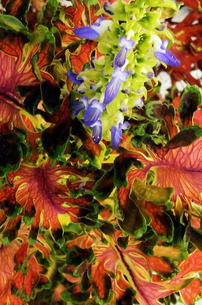 Coleus flaunts colorful palette.