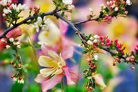 Crabapple (Sargentina Flowering Crabapple) with Columbine (Swan Pink and Yellow) . Oregon
