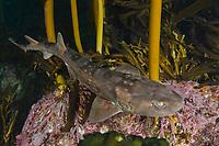 Dark Shyshark, Haploblepharus pictus, Millers point, Simons Town, False Bay, South Africa.