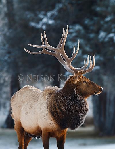 a large bull elk in early winter in western montana