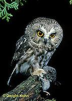 OW03-080b  Saw-whet owl - with mouse prey - Aegolius acadicus