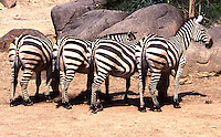 Four Burchell's Zebras at the Maryland Zoo in Baltimore.