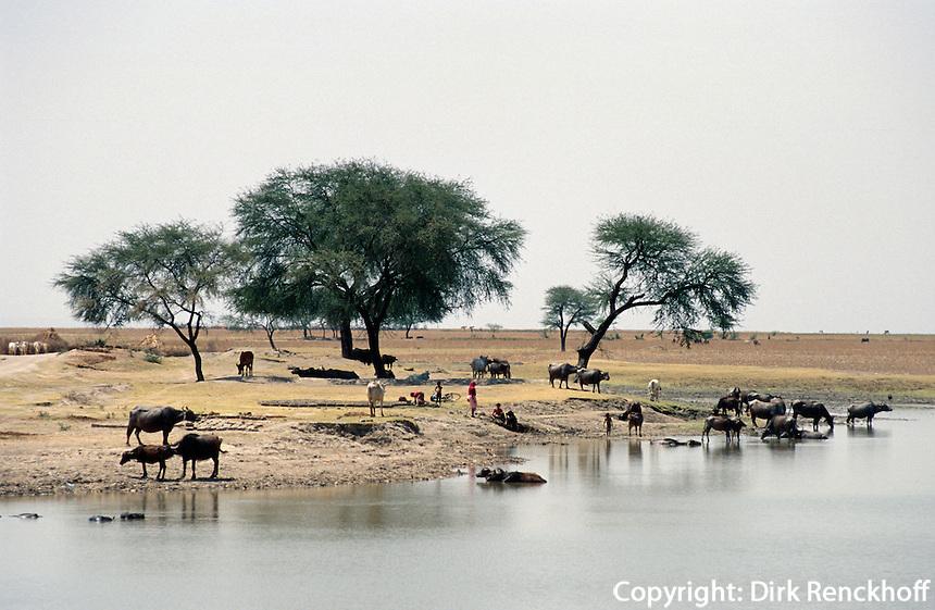 Indien, Tonk (Rajasthan).Büffel an Wasserstelle