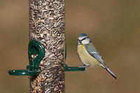 Blaumeise, an der Vogelfütterung, Fütterung im Winter bei Schnee, mit Körnern gefüllten Futtersilo, Winterfütterung, Blau-Meise, Meise, Cyanistes caeruleus, Parus caeruleus, blue tit