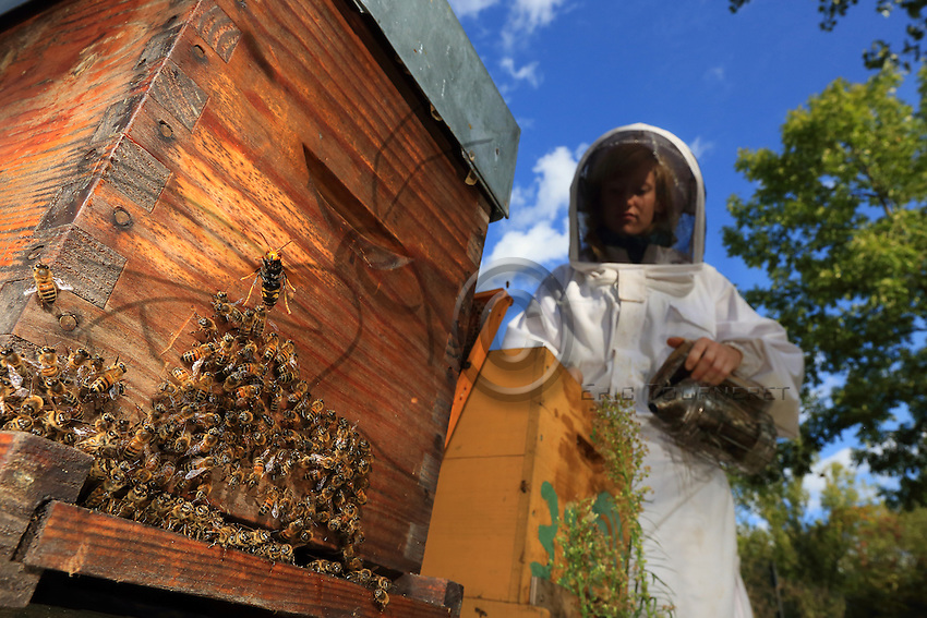 Preying on a bee hive during the beekeeper's inspection. ///Prédation sur une ruche d'abeilles pendant l'inspection d'une apicultrice.