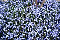 Blue spring flowers (Glory of the Snow) Arnold Arboretum, Boston, MA. (chionodoxa forbesii)