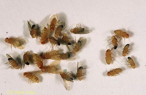 1D05-006b  Fruit Fly - red eyed, winged females, white eyed, wingless male, F2: 3/1 ratio - Drosophila melanogaster