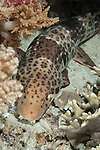 Misool, Raja Ampat, Indonesia; Wayilbatan area, an Epaulette Shark (Hemiscyllium ocellatum) resting on the sandy sea floor at night, also known as a walking shark or carpet shark