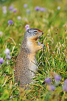 Columbian Ground Squirrel (Spermophilus columbianus) in wildflowers.  Glacier National Park, Montana.  Sept.