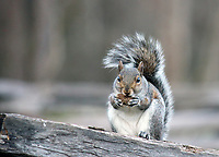 Cute fat gray squirrel eating nut on an old fence- Free nature stock image.