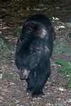 American black bear walking towards camera looking down full body view.