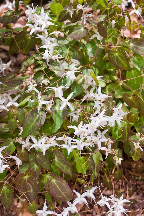 Epimedium x youngianum 'Milk Chocolate' in white spring flowers