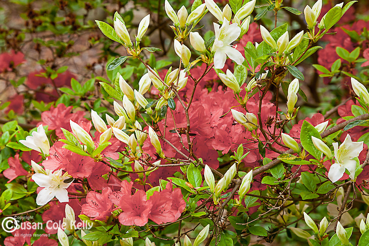 Azaleas at Long Hill gardens in Beverly, Massachusetts, USA