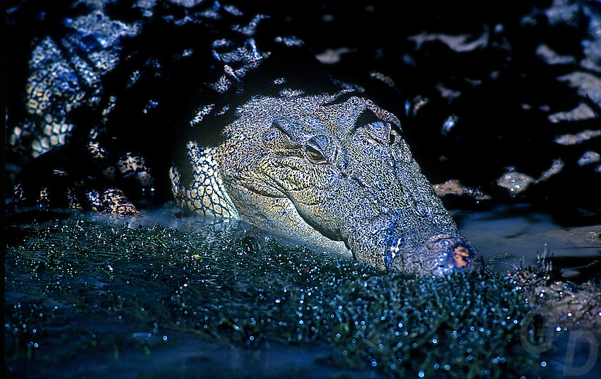 Large Saltwater Crocodile atYellow Waters Kakadu National Park, Northern Territory, Australia