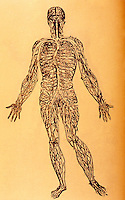 "Science:  Vesalius--The ""Venous Man"", in which the vena cava is illustrated as a single, continuous structure.  Photo '84."