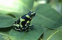 FR24-003z  Green and Black Arrow Frog - poisonous, Costa Rica - Dendrobates auratus - ©David Kuhn/Dwight Kuhn Photography