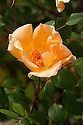 Rosa 'Mrs Oakley Fisher', Exotic Garden, Great Dixter, early June.