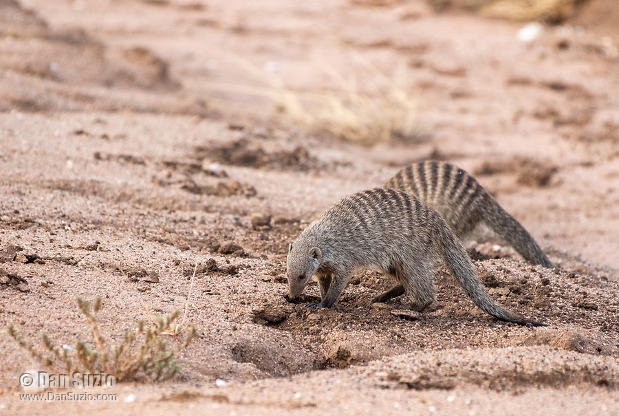 A Banded Mongoose, Mungos mungo, dig in sandy soil beside a dry creekbed in Serengeti National Park, Tanzania.
