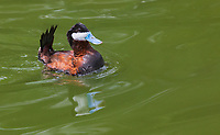 Male Ruddy Duck in breeding colors, swimming with tail feathers up