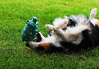 Australian Shepard pup Molly Montana playing with her Miss Piggy toy.