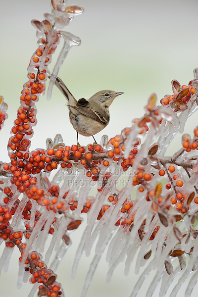 Pine Warbler (Dendroica pinus), immature female perched on icy branch of Yaupon Holly (Ilex vomitoria) with berries, Hill Country, Texas, USA