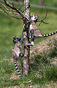 """16/05/16<br /> <br /> """"I'll race you to the top""""<br /> <br /> Three baby ring-tail lemurs began climbing lessons for the first time today. The four-week-old babies, born days apart from one another, were reluctant to leave their mothers' backs to start with but after encouragement from their doting parents they were soon scaling rocks and trees in their enclosure. One of the youngsters even swung from a branch one-handed, at Peak Wildlife Park in the Staffordshire Peak District. The lesson was brief and the adorable babies soon returned to their mums for snacks and cuddles in the sunshine.<br /> All Rights Reserved F Stop Press Ltd +44 (0)1335 418365"""