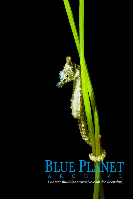 Dwarf seahorse (Hippocampus zosterae) (c) Found in the Bahamas and United States in subtidal aquatic beds.