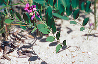 Zeelathyrus (Lathyrus japonicus)