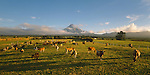 Dairy Cows at sunrise near Mount Taranaki. Taranaki Region New Zealand.
