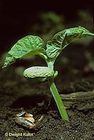 SE09-005b   Bean - seedling, seed coat on ground, true leaves, cotyledons - Provider variety