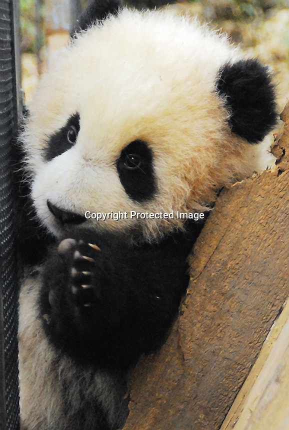 Son of Cao Cao born 06th August 08  at Bi Fengxia Panda, China base after getting evacuated from Wolong after the earthquake last year.<br /> <br /> photo by sinopix