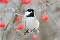 00175-012.13 Black-capped Chickadee is perched in a high bush cranberry shrub that is covered in rime frost.  Hoar, cold, winter, red, fruit, berries.