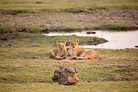 Lion cubs at rest along the Chobe River, Chobe National Park, Botswana