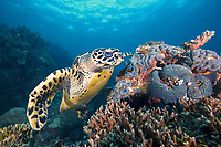 A critically endangered hawksbill turtle, Eretmochelys imbricata, looking for food in Southern Leyte, Philippines, Indo-Pacific Ocean