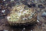 European oyster on gravel habitat