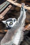 ring-tailed lemur hanging from tree medium shot