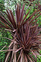 Cordyline australis 'Atropurpureum' (aka ''Atropurpurea' and 'Purpurea'), Cabbage Palm, spiky red purple foliage plant
