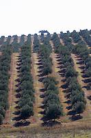 olive grove herdade do peso alentejo portugal