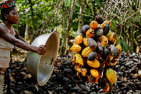 A female cocoa farm labourer collects cocoa pods after they have been cut from the tree.