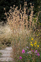 Andropogon halii, Sand Bluestem, flowering ornamental grass by path in Porter Plains Garden meadow at Denver Botanic Garden