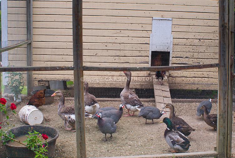 Hen house chicken coop with ducks, chickens, geese, rooster, guineafowl, mixture of poultry birds, farm animals, cage fencing for protection