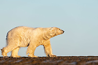 Huge male Polar Bear (Ursus maritimus) patrols the beach in soft morning light.  This was from our first day on the bay, and this is the largest bear we have ever seen.